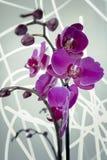 Ljus ska blomma orkidén Royaltyfria Foton