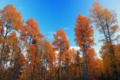 ljus skog för höst Arkivbilder