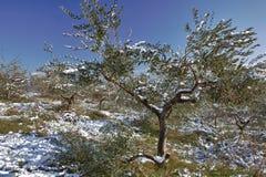 Snow på olivgrön tree Arkivfoto