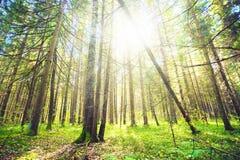 Ljus sol som skiner till och med träden i skog arkivfoton