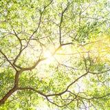 Ljus sol som skiner till och med trädfilialer och - gröna sidor Bakgrund för natur för dag för vårsommar sumnny royaltyfri foto