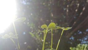 ljus solig closeupväxt av släkten Trifoliumdag Arkivbild