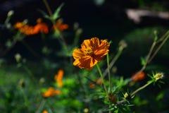 Ljus solig orange färgblomma arkivbilder