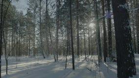 Ljus solig pinjeskog i snön Härligt vinterlandskap i skogen arkivfoton