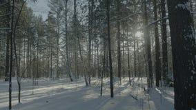 Ljus solig pinjeskog i snön Härligt vinterlandskap i skogen arkivbilder
