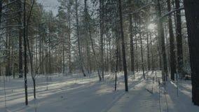 Ljus solig pinjeskog i snön Härligt vinterlandskap i skogen arkivbild
