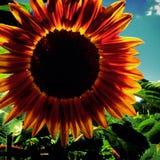 ljus solros Royaltyfria Bilder