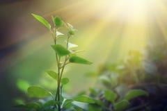 Ljus som skiner på en grön grodd Arkivbild