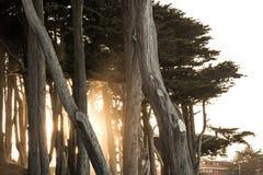 Ljus som skiner till och med cypressträd nära Sutro bad, San Francisco Fotografering för Bildbyråer