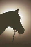 Ljus stående för baksida av den arabiska hästen Arkivbild