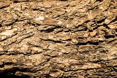 Ljus textur för trädskäll Royaltyfria Foton
