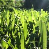 Ljus till och med gräset i morninngträdgård Royaltyfria Foton
