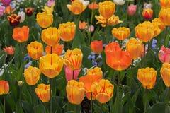 Ljus tulpanblomsterrabatt med gula och röda fläckiga blomningar Royaltyfri Foto