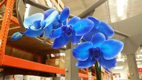 Ljus uppsättning för blå orkidé i en kommersiell bakgrund arkivfoton