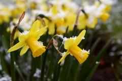 Ljus vårsnö på gula påskliljor Royaltyfri Bild