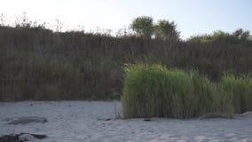 Ljus vind för vassinflyttning på sandstranden för baltiskt hav stock video