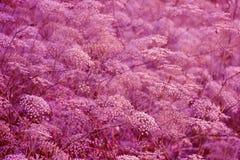 Ljus violett blom- bakgrund Royaltyfri Bild