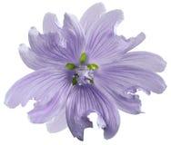 Ljus - violett lös malvablomma på en vit isolerad bakgrund med den snabba banan closeup element för klockajuldesign royaltyfria foton