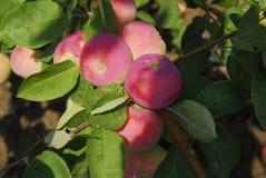 ljusa äpplen arkivfoto