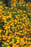 Ljusa apelsinblommor Royaltyfria Bilder