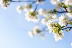 Ljusa blå himmel- och äppleträdblomningar Fotografering för Bildbyråer