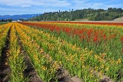 Ljusa blommafält, Washington Royaltyfri Bild