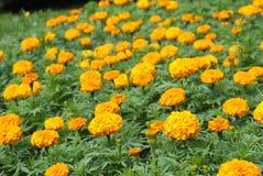 Ljusa blommande gula ringblommor Arkivbild