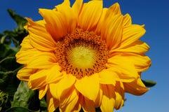 Ljusa blommande solrosor Fotografering för Bildbyråer