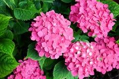 Ljusa blommavanlig hortensia arkivfoto