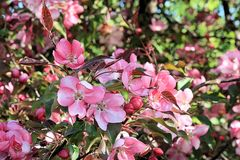 Ljusa blommor av en blommande closeup för våräppleträd royaltyfri foto
