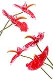 ljusa blommor för anthurium Royaltyfri Fotografi