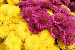 ljusa chrysanthemumblommor för bakgrund Royaltyfri Foto