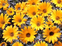 ljusa chrysanthemums arbeta i trädgården yellow Arkivbilder
