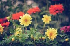 Ljusa dahlior i trädgården Royaltyfria Foton