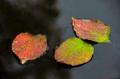 Ljusa färgrika Autumn Leaves Float på mörkt vatten fotografering för bildbyråer