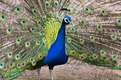 Ljusa färgrika fjädrar för härlig indisk visning för blå peafowl manlig Royaltyfri Fotografi