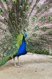 Ljusa färgrika fjädrar för härlig indisk visning för blå peafowl manlig Arkivbild