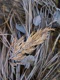 Ljusa frostade gräs och sidor i den Yosemite nationalparken Cali Royaltyfria Bilder