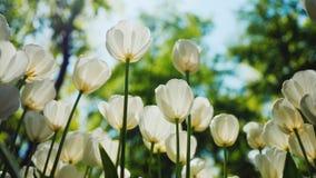 Ljusa genomdränkta färger av vårblommor vita tulpan arkivfoto