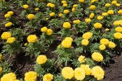 Ljusa gula blommor av ringblomman Royaltyfria Bilder