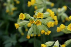 Ljusa gula blommor av växtgullvivaprimulan Veris fotografering för bildbyråer