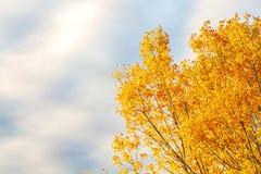 Ljusa gula höstträd mot den blåa himlen Bakgrund royaltyfri foto