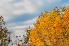 Ljusa gula höstträd mot den blåa himlen Bakgrund royaltyfri bild