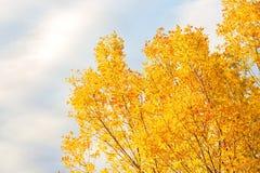 Ljusa gula höstträd mot den blåa himlen Bakgrund royaltyfri fotografi