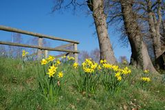 Ljusa gula påskliljor i livligt solljus på en gräsbank framme av högväxta träd och ett trästaket royaltyfria foton