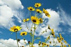 Ljusa gula solrosor mot det vita molnet fyllde djupblå himmel Royaltyfri Foto