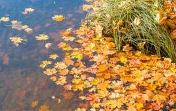 Ljusa guld- lönnlöv som svävar i floden Guld- höst arkivbilder