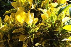 Ljusa guling- och gräsplanCrotonväxter arkivbild