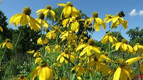 Ljusa gulingblommor och blå himmel stock video