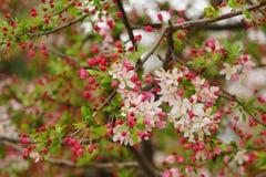 Ljusa körsbärsröd blomning och knoppar Fotografering för Bildbyråer